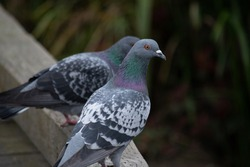 Rock pigeons (Columba livia) on a boardwalk