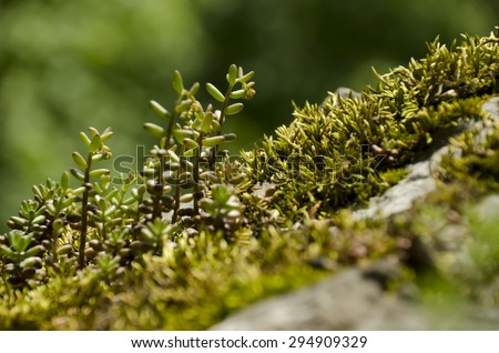 rock plant on a rock with a forest in the background