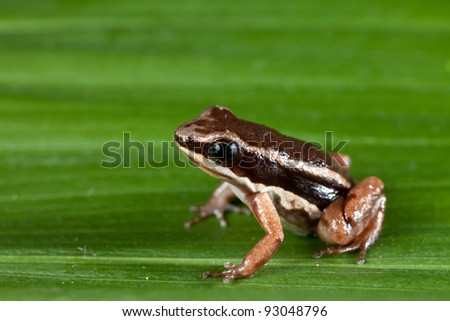 rocket frog in amazon rain forest tropical exotic amphibian Colostethus talamancae
