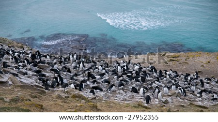 Rockhopper penguin colony - Falkland Islands