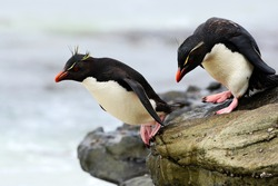 Rockhopper penguins, Eudyptes chrysocome, jumping in to the sea from the rocky nature habitat, black and white sea bird from Sea Lion Island, Falkland Islands.
