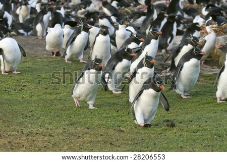 Rockhopper penguins (Eudyptes chrysocome) on the Falkland Islands