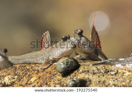 Rockskipper fish a species of amphibious fish that can for Fish that walk on land