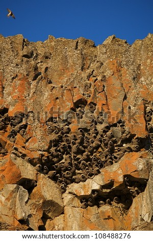 Rocky cliff with a colony of Cliff Swallow nests