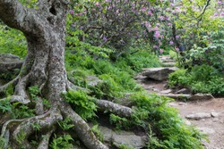 Rocky hiking trail to Craggy Gardens Summit near Asheville, North Carolina with wild Catawba rhododendron in bloom.