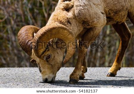 Rocky Mountain Big-Horned Sheep  in Kananaskis Country Alberta Canada