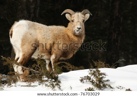 Rocky Mountain Big-Horned Sheep in winter, Banff National Park Alberta Canada