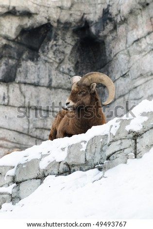 Rocky Mountain Big-Horned Sheep in winter time