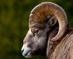 Rocky Mountain BigHorn Sheep, close up of head and horns