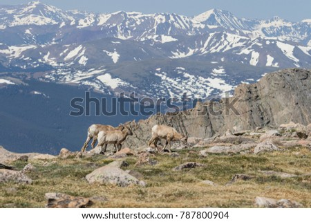 Rocky Mountain Bighorn Sheep Ewes  #787800904