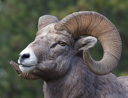 Rocky Mountain Bighorn Sheep, full curl trophy ram, close-up portrait with a green background, along state route 200 in Thompson Falls, Montana