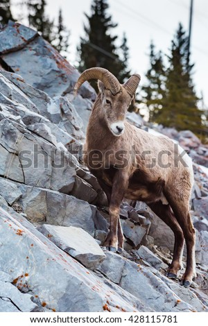 Rocky Mountain Bighorn Sheep on a cliffs edge in the mountains of Kananaskis Country Alberta Canada #428115781