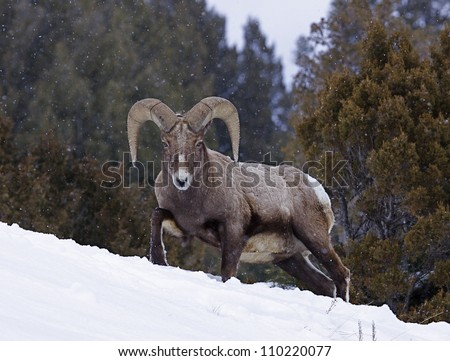 Rocky Mountain Bighorn Sheep Ram walking through deep winter snow with evergreen trees in the background, at Yellowstone National Park, Montana / Wyoming