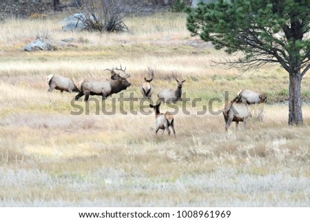 Rocky Mountain bull and cow elk during the mating season. The bulls are watching over there harem of cows