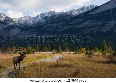 Rocky Mountain Bull Elk, Canadian Rockies #1278445780