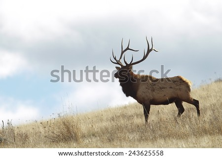 Rocky Mountain Elk, Cervus canadensis  Large Bull Elk Stag on grassy slope, background of blue sky and clouds Big game & deer hunting in Montana, Colorado, Wyoming, Oregon, Idaho, Utah, & Washington