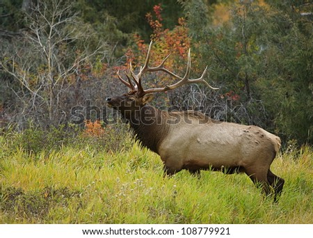 Rocky Mountain Elk in habitat with beautiful autumn leaves