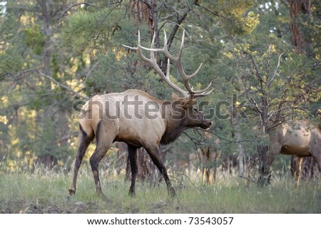 Rocky Mountain Elk (lat. Cervus canadensis) in the woods of Grand Canyon National Park, Utah, USA