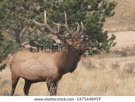 Rocky Mountain Elk (male) (cervus canadensis)  #1475648459