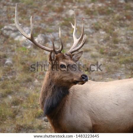 Rocky Mountain Elk (male) (cervus canadensis) #1483223645