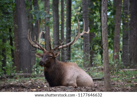Rocky Mountain Elk resting