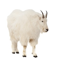 Rocky mountain goat (Oreamnos americanus). Isolated over white background