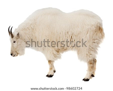 Rocky mountain goat (Oreamnos americanus). Isolated over white background