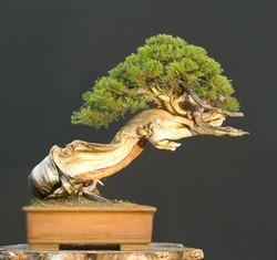Rocky Mountain Juniper bonsai