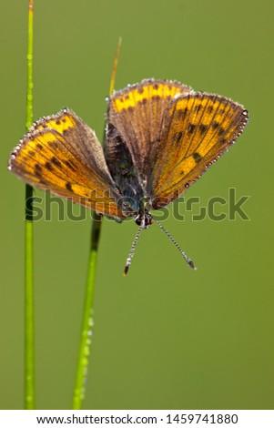 Rode Vuurvlinder in de vegetatie, Purple-edged Copper in the vegetation