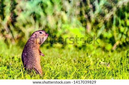 Rodent in nature grass scene. Rodent in nature scene. Rodent standing and looking. Rodent portrait