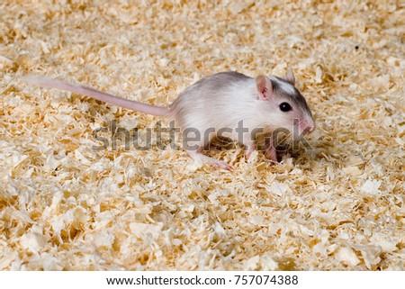 rodent mongolian gerbil