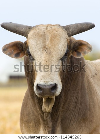 Rodeo Bull in a Pasture