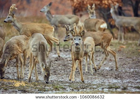 Roe deer and buck family in the forest, with selective focus #1060086632