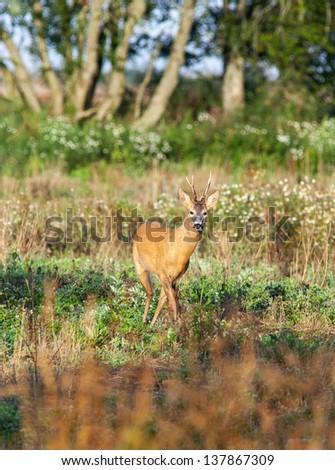 Roe deer buck in the meadow - stock photo