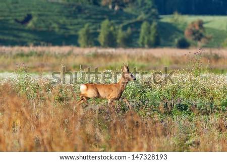 Roe deer buck in the meadow
