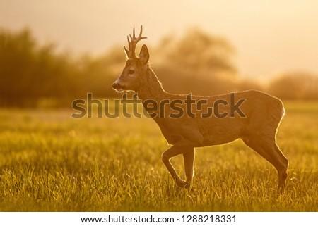 Roe deer, capreolus capreolus, buck in spring time at sunset. Backlit wild deer in nature. #1288218331