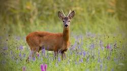 Roe deer, capreolus capreolus, buck in summer on a meadow full of flowers. Roebuck at sunset. Wild animal in natural environment. Cute wild male deer.