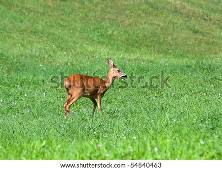 Roe Deer - Capreolus capreolus Doe in alpine meadow
