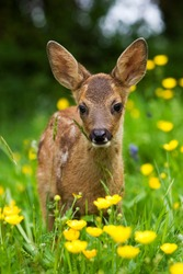 Roe Deer, capreolus capreolus, Fawn with Yellow Flowers, Normandy
