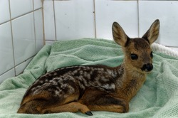 Roe Deer ( Capreolus capreolus) Kid,portrait,in care at wildlife rescue centre. Orphan, abandoned.