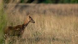 Roe Deer (Capreolus capreolus) walks on a meadow. Roe Deer looking for a food. Meadow with wild animals. Animal in a natural habitat.