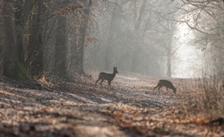 Roe deer(capreolus caproelus) in the middle of the forest
