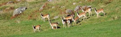 Roe deer family graze in the green valleys Isle of Islay on a clear day. Panoramic view. Inner Hebrides, Scotland, UK. Travel destinations, european wildlife, environmental conservation