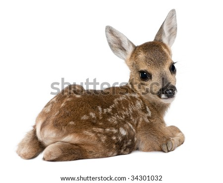 roe deer Fawn - Capreolus capreolus (15 days old) in front of a white background