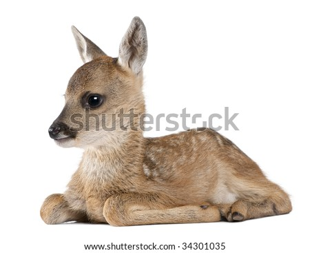 roe deer Fawn lying down - Capreolus capreolus (15 days old) in front of a white background - stock photo