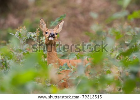 Roe deer foraging
