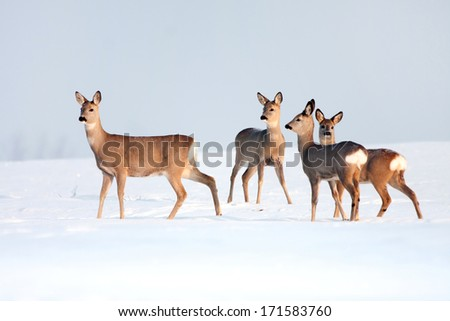 Stock Photo Roe deer group in winter in a sunny day.