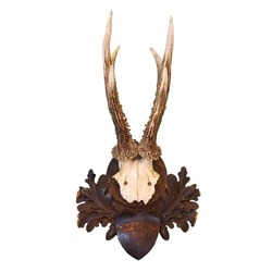 roe deer hunting trophy isolated over white background ( Capreolus )