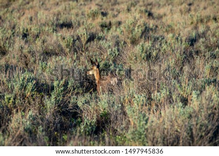 Roe Deer in the wilderness of Alberta in the wilderness of Alberta #1497945836