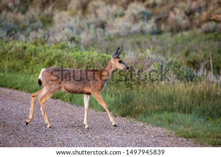 Roe Deer in the wilderness of Alberta in the wilderness of Alberta #1497945839